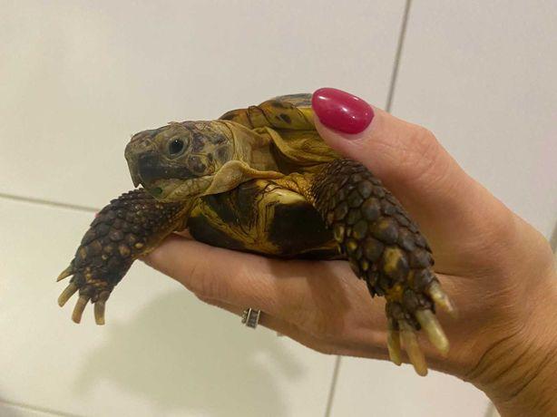 Среднеазиатская черепаха. 20 см по панцирю