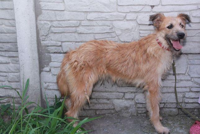 Собака Найда (11 мес) ОХРАННИК,игривая, звонкая, привита, стерилизован