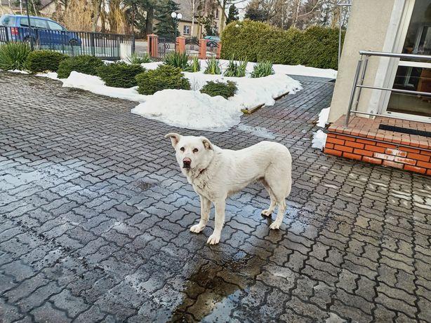 Przybłąkał się pies, znaleziono psa!!!