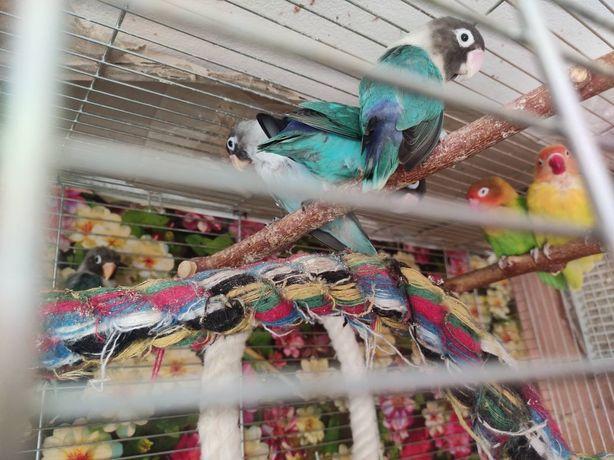 Попугаи неразлучники птенцы по 300грн.