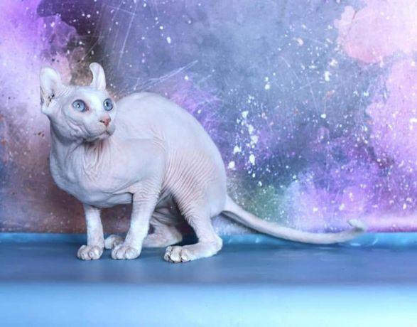 Для вязки временно открыт кот породы эльф