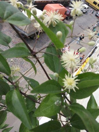Клематис виноградолистний білий дрібні квіти
