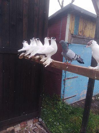 Gołębie ozdobne krymki polskie