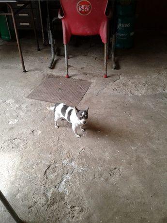 Chihuahua macho disponível para ser pai