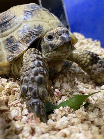 Большая среднеазиатская черепаха