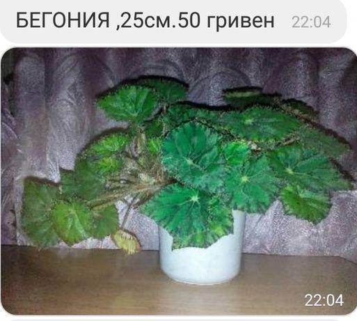 Бегония, коланхоэ.Комнатные растения
