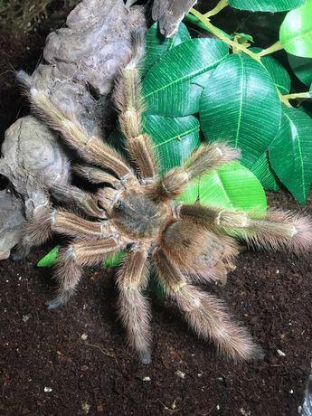 Nhandu tripepii (samiec ADULT) - ANIMALE