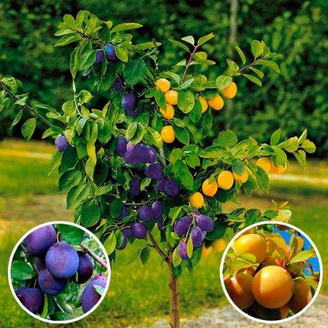 Drzewka owocowe -DUO Śliwa Renkloda Ulana + Śliwa Renkloda Althana GK
