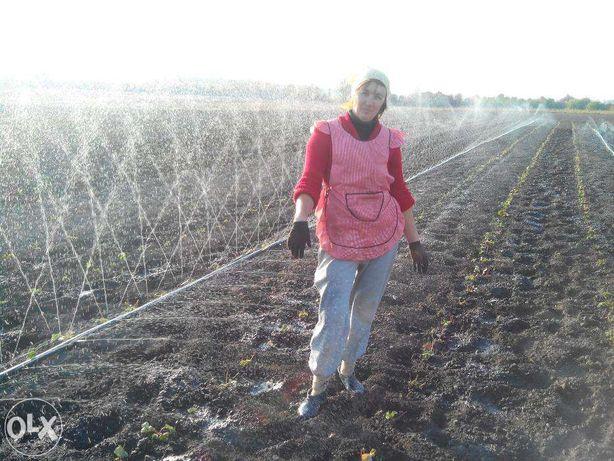 Продам рассаду (Саженцы) клубники від 2-5грн
