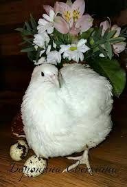 Инкубационное яйцо техасского белого перепела и З. Феникса