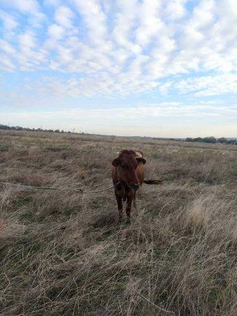 Сельхоз животные коровы