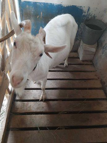 Срочно продам молочную козу, зааненской породы. Торг