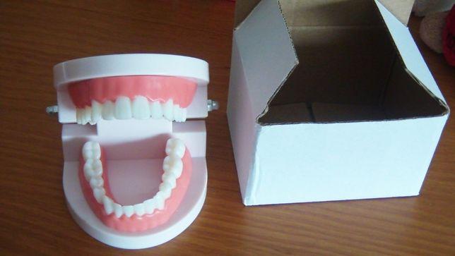 Modelo de Boca com dentes