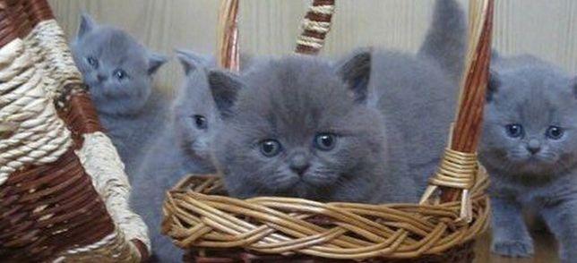 Британские, плюшевые котята,ждут Вас!