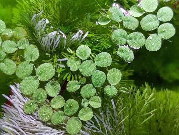SALWINIA roślina pływająca 30szt.