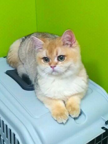Золотая шиншилла элитный британский кот.