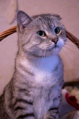 Полу вилоухий котик, котята, котики бесплатно киев в добрые руки