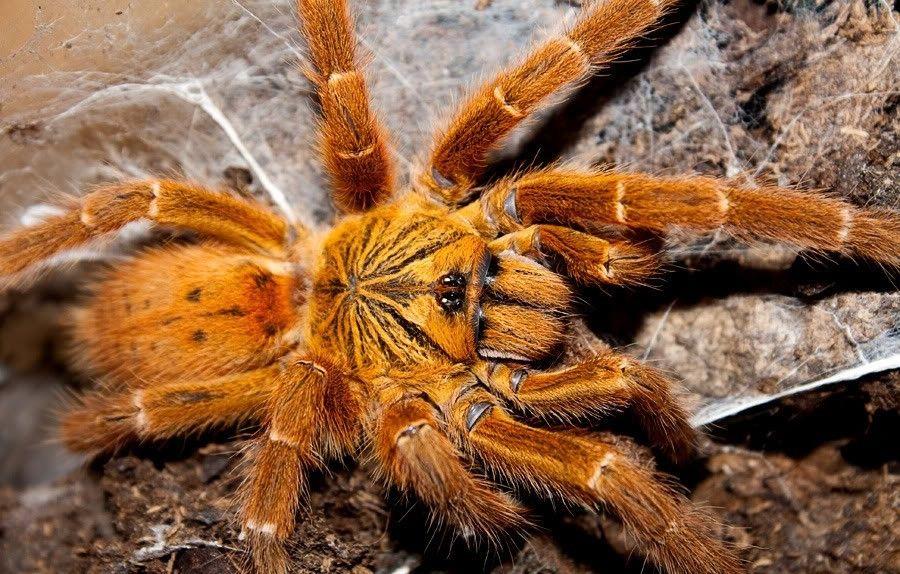 паук Pterinochilus murinus L 7 -8 самка Харьков - изображение 1