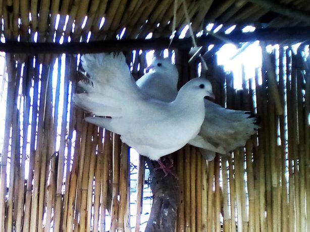 Пара голубей породы павлин (трубачи)