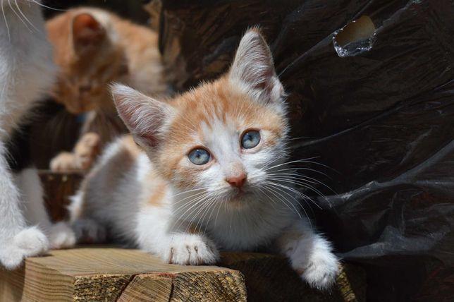 Рыжий котенок мальчик, маленький котенок 2 мес.