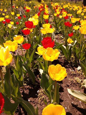 Тюльпаны луковицы