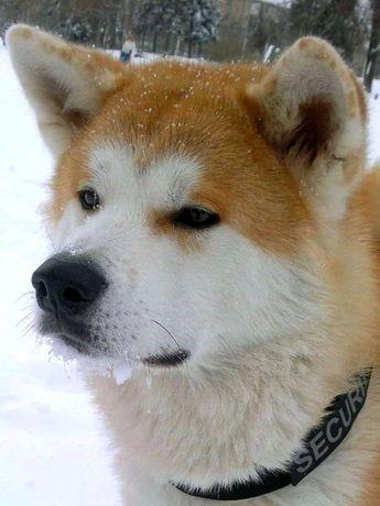 Вязка собак акита