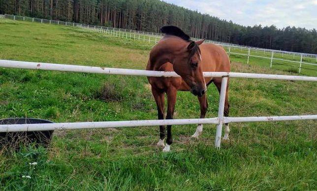 Koń domowy duży wybór