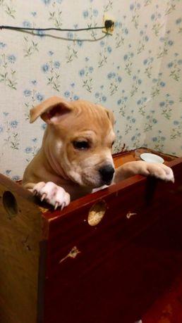 Продам щенка Стаффа