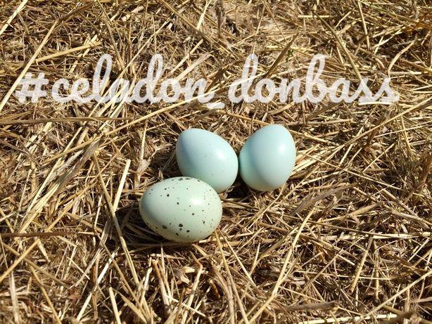 Celadon селадон перепел яйцо инкубационное цыплята США