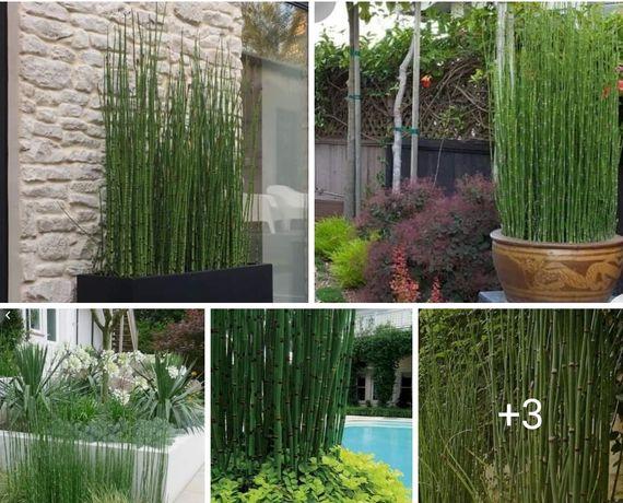Зимуючий хвощ- бамбук