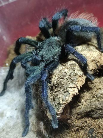 Pterinopelma sazimai świeży dorosły samiec adult ptasznik pająk Kraków