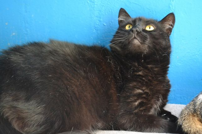 кішка в чорній плюшевій шубці 2роки