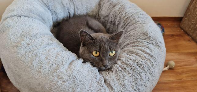 Русская голубая метис кошка в хорошие руки
