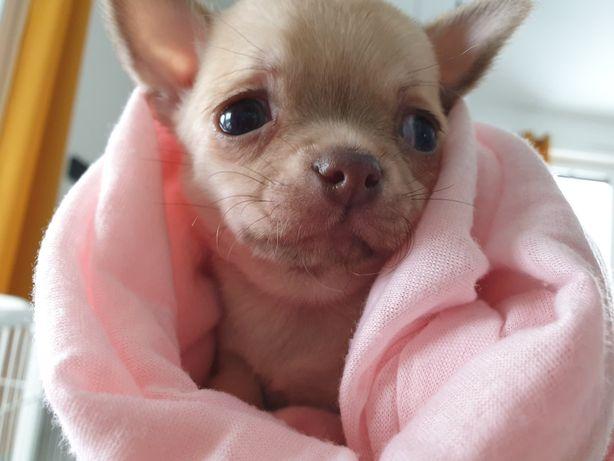 Chihuahua, suczka
