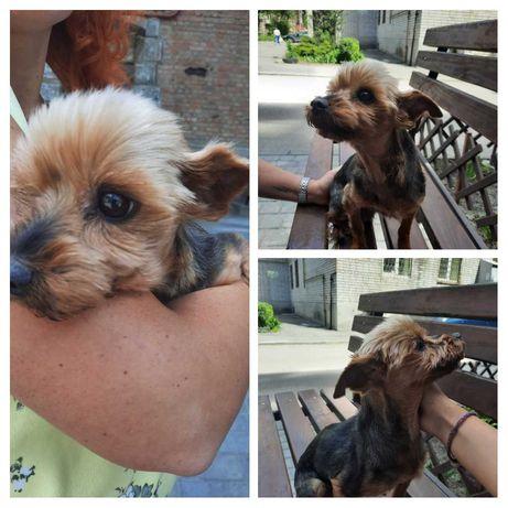 Найдена собака йорик девочка