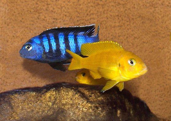 rybki pyszczaki malawi Pseudotropheus Saulosi