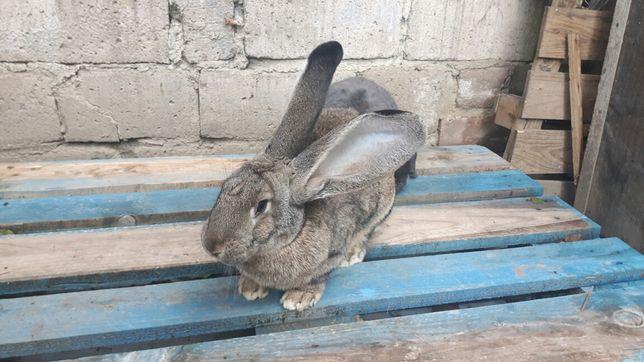 Tusze królicze tuszki królika eko naturalne