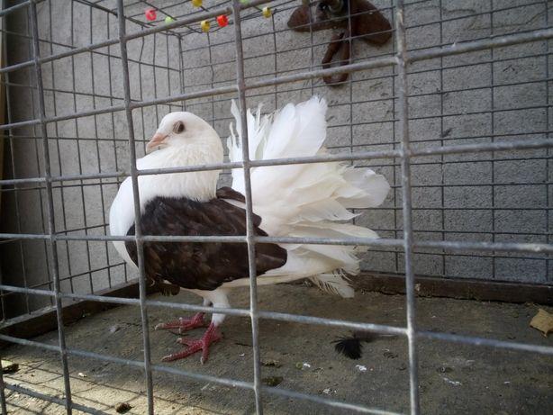 Gołębie Samczyk Tarczowy Pawik Wysyłka