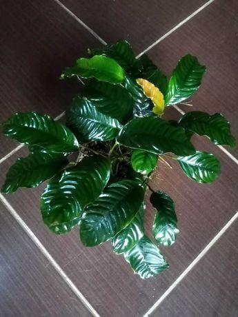 Анубиас Коффефолия. Аквариумное растение.