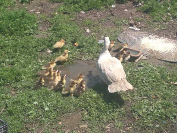 Sprzedam młode kaczki