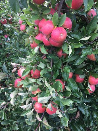 Jablka ziemniaki dostawa gratis
