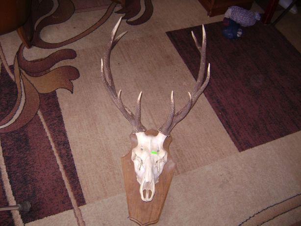Poroże jelenia . Wieniec 3,8 kg .