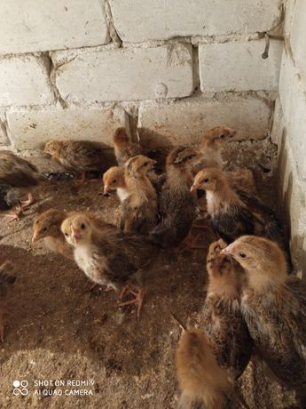 Цыплята подрощенные ломан Браун 1,5мес