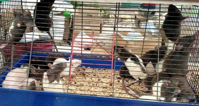 Отличные цветные крысята