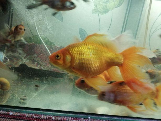 Распродажа всех рыбок с аквариума золотых