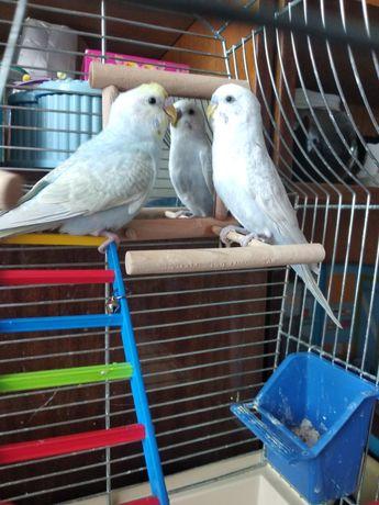 Папугаи Волныстые