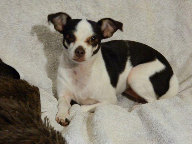 Челси (миниатюрная собачка) ищет дом. 1,5 года. Стерилизована.
