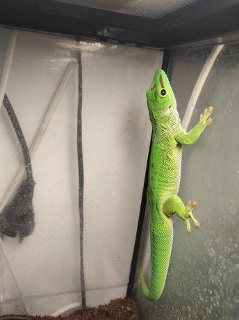 Ящерица геккон фельзума, мальчик 10 мес. Террариум