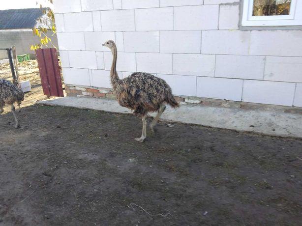 Продам страусов.