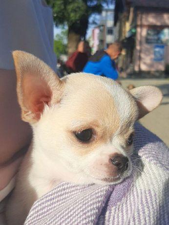 Чихуахуа хлопчик собачка цуцик чіхуа